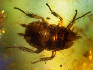 Baltic Amber inclusions Cockroach